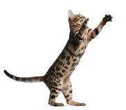 Gattino del Bengala, 5 mesi Fotografia Stock Libera da Diritti