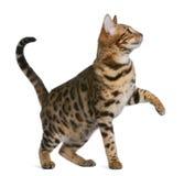 Gattino del Bengala (7 mesi) Fotografia Stock Libera da Diritti