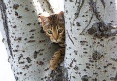 Gattino del Bengala Fotografie Stock