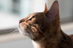 Gattino del Bengala al sole Immagini Stock Libere da Diritti