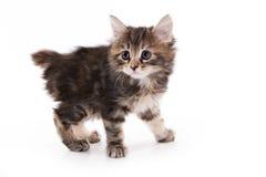 Gattino del Bobtail del Kuril Immagine Stock Libera da Diritti
