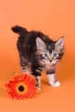 Gattino del Bobtail del Kuril Fotografie Stock Libere da Diritti