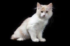 Gattino del Bobtail di Kurilian Fotografia Stock