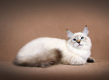 Gattino del colorpoint di Sberian Immagine Stock