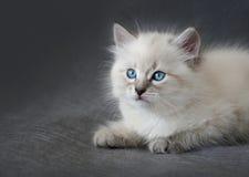 Gattino del colorpoint di Sberian Immagini Stock Libere da Diritti