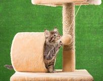 Gattino del Coon della Maine Immagine Stock
