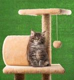 Gattino del Coon della Maine fotografia stock