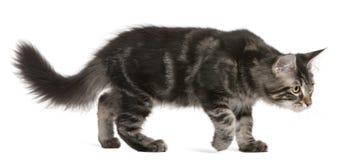 Gattino del Coon della Maine, 4 mesi, ambulanti Immagine Stock