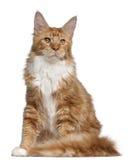 Gattino del Coon della Maine, 7 mesi Immagini Stock Libere da Diritti