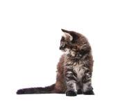 Gattino del coon della Maine Fotografie Stock