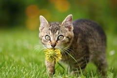 Gattino del dente di leone Fotografie Stock Libere da Diritti