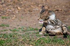 Gattino del gatto che si trova sulla terra e sulla gamba di pulizia della parte anteriore fotografie stock