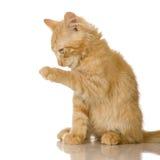 Gattino del gatto dello zenzero Immagini Stock