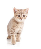 Gattino del gatto su priorità bassa bianca Fotografia Stock Libera da Diritti