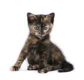 Gattino del guscio di testuggine (2 mesi) Fotografia Stock