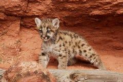 Gattino del leone di montagna Fotografia Stock