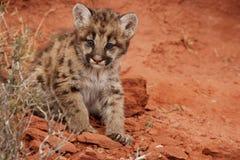 Gattino del leone di montagna Fotografie Stock