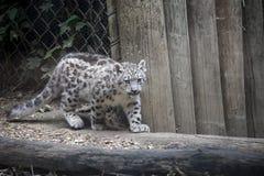 Gattino del leopardo delle nevi fotografie stock