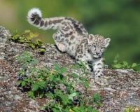 Gattino del leopardo delle nevi sul vagare in cerca di preda Immagine Stock