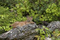 Gattino del lince Fotografia Stock