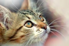 gattino del Maine-procione lavatore Immagini Stock