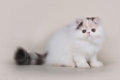 Gattino del persiano di Extrimal immagini stock
