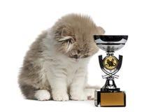Gattino del popolare dell'altopiano con il trofeo che guarda giù isolato su bianco Immagine Stock