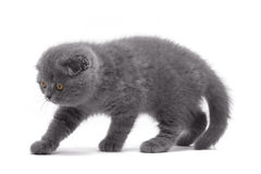 Gattino del popolare dello Scottish Fotografia Stock