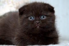 Gattino del popolare dello Scottish Fotografia Stock Libera da Diritti