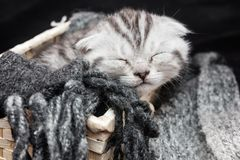 Gattino del popolare dello scottish del soriano Immagini Stock