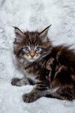 Gattino del procione lavatore di LMaine Fotografie Stock