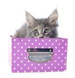 Gattino del procione lavatore di Maine Fotografia Stock