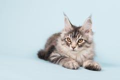 Gattino del procione lavatore di Maine che mette su blu Fotografia Stock