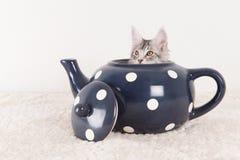 Gattino del procione lavatore di Maine in teiera Fotografia Stock