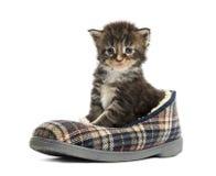 Gattino del procione lavatore di Maine in una pantofola Fotografia Stock