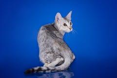 Gattino del Serval che gioca nello studio su un isolante colorato del fondo Fotografia Stock