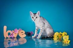 Gattino del Serval che gioca nello studio su un isolante colorato del fondo Immagini Stock