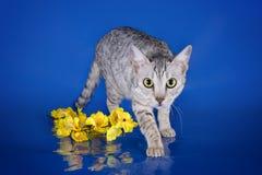 Gattino del Serval che gioca nello studio su un isolante colorato del fondo Immagini Stock Libere da Diritti