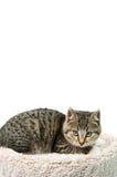 Gattino del soriano Fotografia Stock
