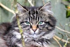 Gattino del soriano Immagine Stock
