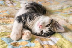Gattino del soriano che allunga sul letto Immagini Stock