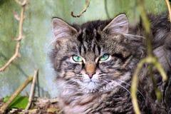 Gattino del soriano di sonno Fotografia Stock