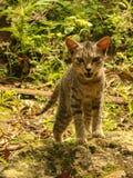 Gattino dell'animale domestico Immagine Stock