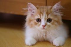 Gattino dell'animale domestico del gatto Immagini Stock Libere da Diritti