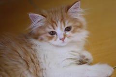 Gattino dell'animale domestico del gatto Immagine Stock Libera da Diritti