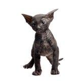Gattino della Cornovaglia del rex Fotografie Stock Libere da Diritti