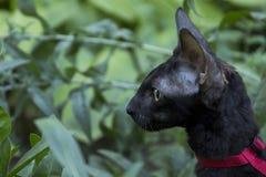 Gattino della Cornovaglia di Rex in erba fotografia stock