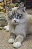 Gattino della miscela di Ragdoll Fotografia Stock Libera da Diritti