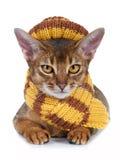 Gattino della razza abyssinian. Fotografie Stock
