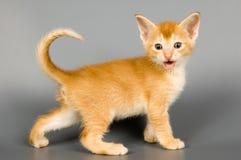 Gattino della razza Abyssinian Fotografie Stock Libere da Diritti